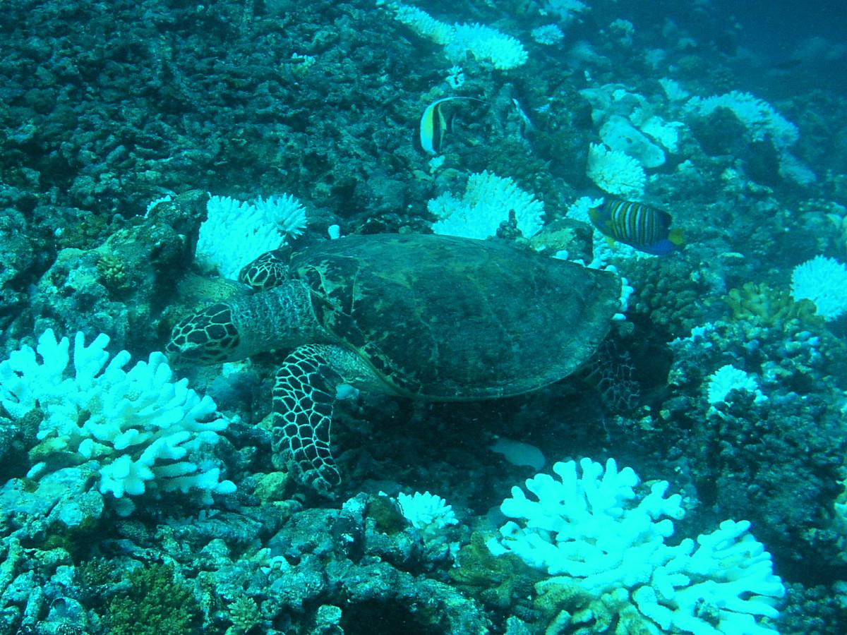Eine fressende Schildkröte